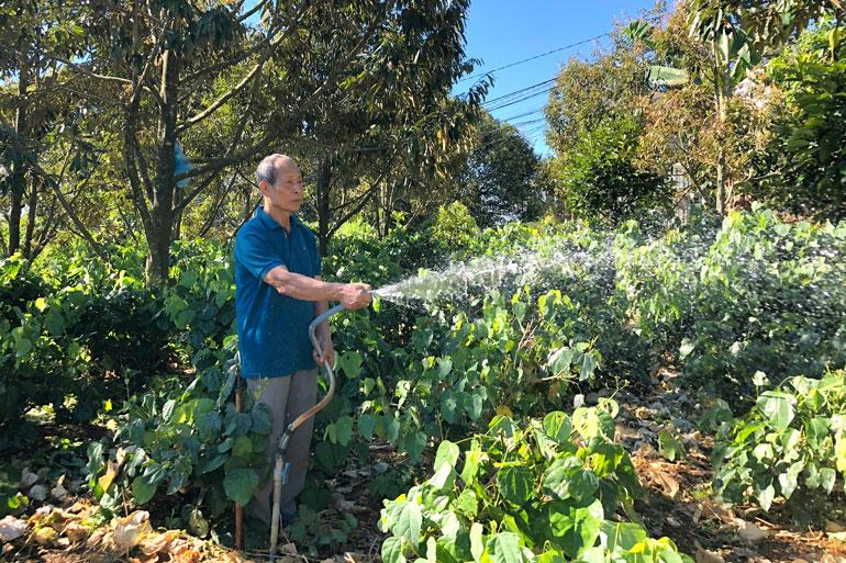 Lâm Đồng: Trồng thứ rau rừng tốt bời bời trong vườn sầu riêng, cứ 1 sao nông dân thu 20 triệu/tháng - Ảnh 1.