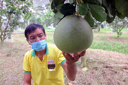 Hậu Giang: Cũng là bưởi da xanh, nhưng nông dân ở đây trồng kiểu gì để bán trái giá cao hơn thị trường? - Ảnh 1.