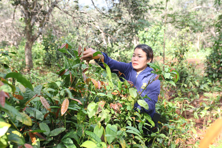 Lâm Đồng: Trồng rau rừng có cái tên lạ trong rẫy cà phê, hái đọt non bán đắt tiền, hái bao nhiêu bán hết veo - Ảnh 1.