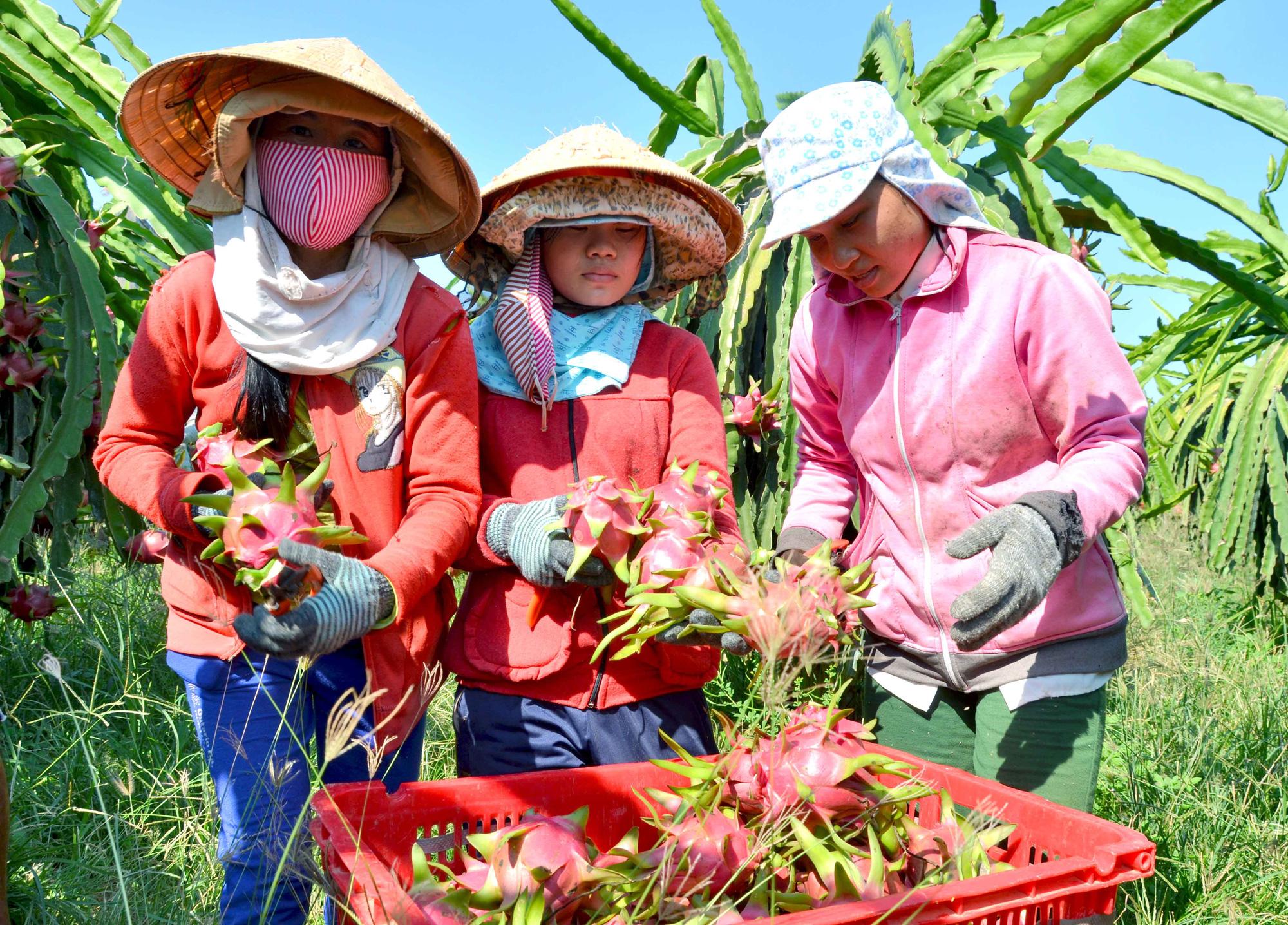Trung Quốc cũng đang tăng tốc trồng thanh long - Ảnh 1.