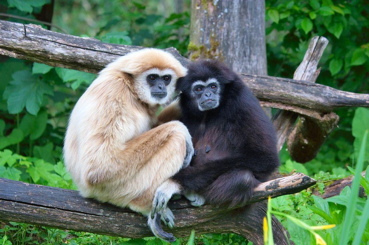 Loài vượn tình cảm, chung thủy bậc nhất thế giới động vật - Ảnh 4.