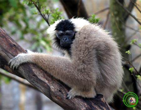 Loài vượn tình cảm, chung thủy bậc nhất thế giới động vật - Ảnh 3.