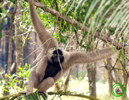Loài vượn tình cảm, chung thủy bậc nhất thế giới động vật - Ảnh 2.