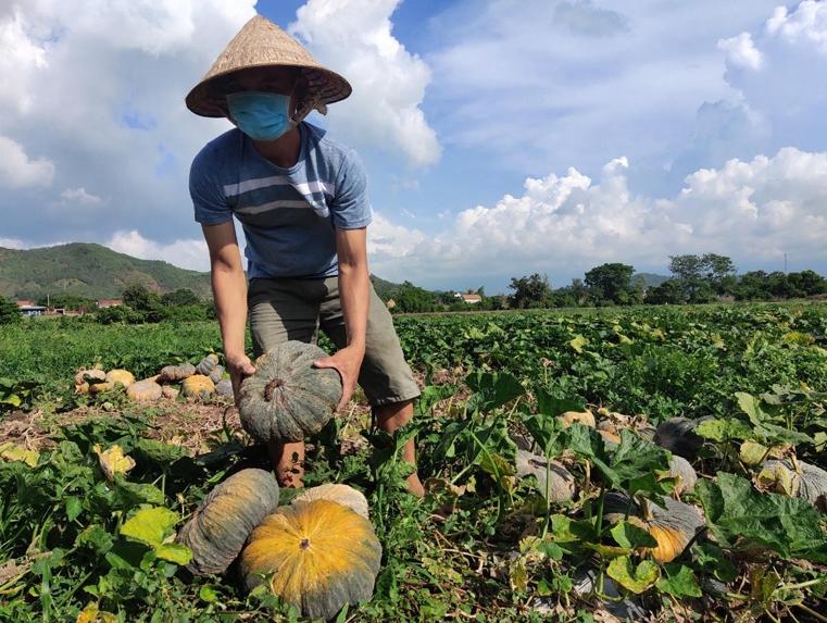 Co.opmart giải cứu bí đỏ giúp nông dân Phú Yên giữa dịch Covid-19 - Ảnh 2.