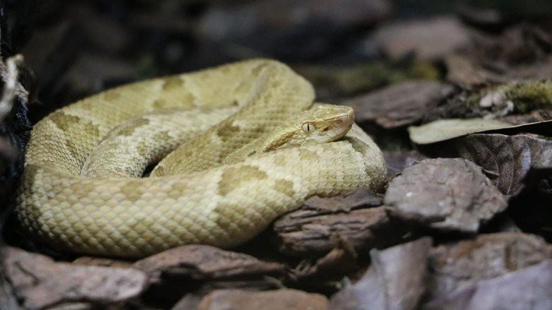 """Hòn đảo nguy hiểm nhất thế giới cứ 1m2 có 5 con rắn độc là """"nhà"""" của loài rắn độc nhất thế giới nào? - Ảnh 4."""