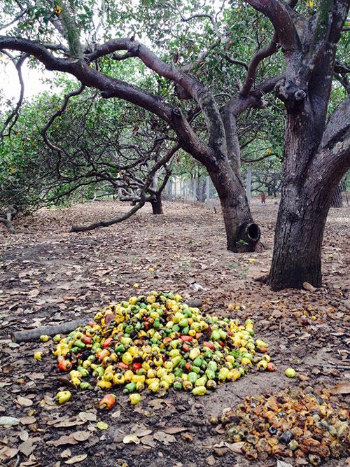 """Bình Thuận: Đáng buồn, nông dân thất thu bên những vườn trồng điều toàn các cây già """"lụ khụ"""" - Ảnh 1."""