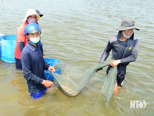 Ninh Thuận: Nuôi ốc đặc sản gì dưới nước mặn mà người Trung Quốc thích ăn con nhỏ, khách Việt Nam thích ăn con to? - Ảnh 1.
