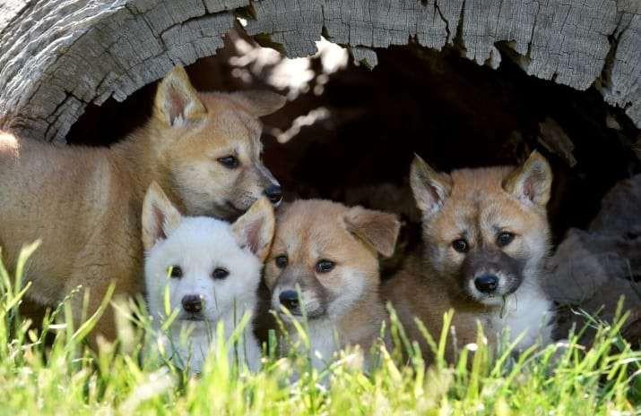 Chó Dingo nước Úc - loài chó hoang đáng yêu cực khó để thuần hóa - Ảnh 2.