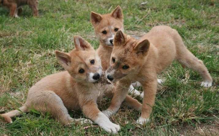 Chó Dingo nước Úc - loài chó hoang đáng yêu cực khó để thuần hóa - Ảnh 3.