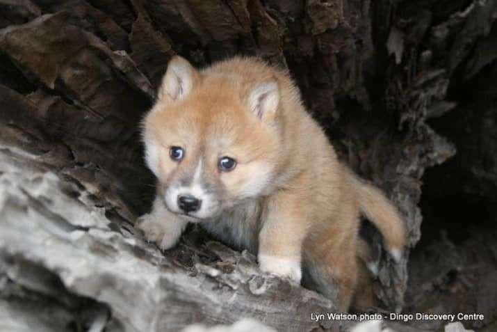 Chó Dingo nước Úc - loài chó hoang đáng yêu cực khó để thuần hóa - Ảnh 5.