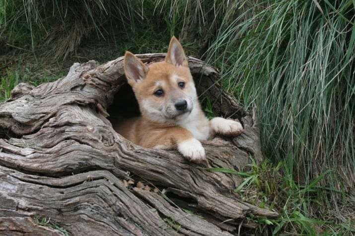 Chó Dingo nước Úc - loài chó hoang đáng yêu cực khó để thuần hóa - Ảnh 6.