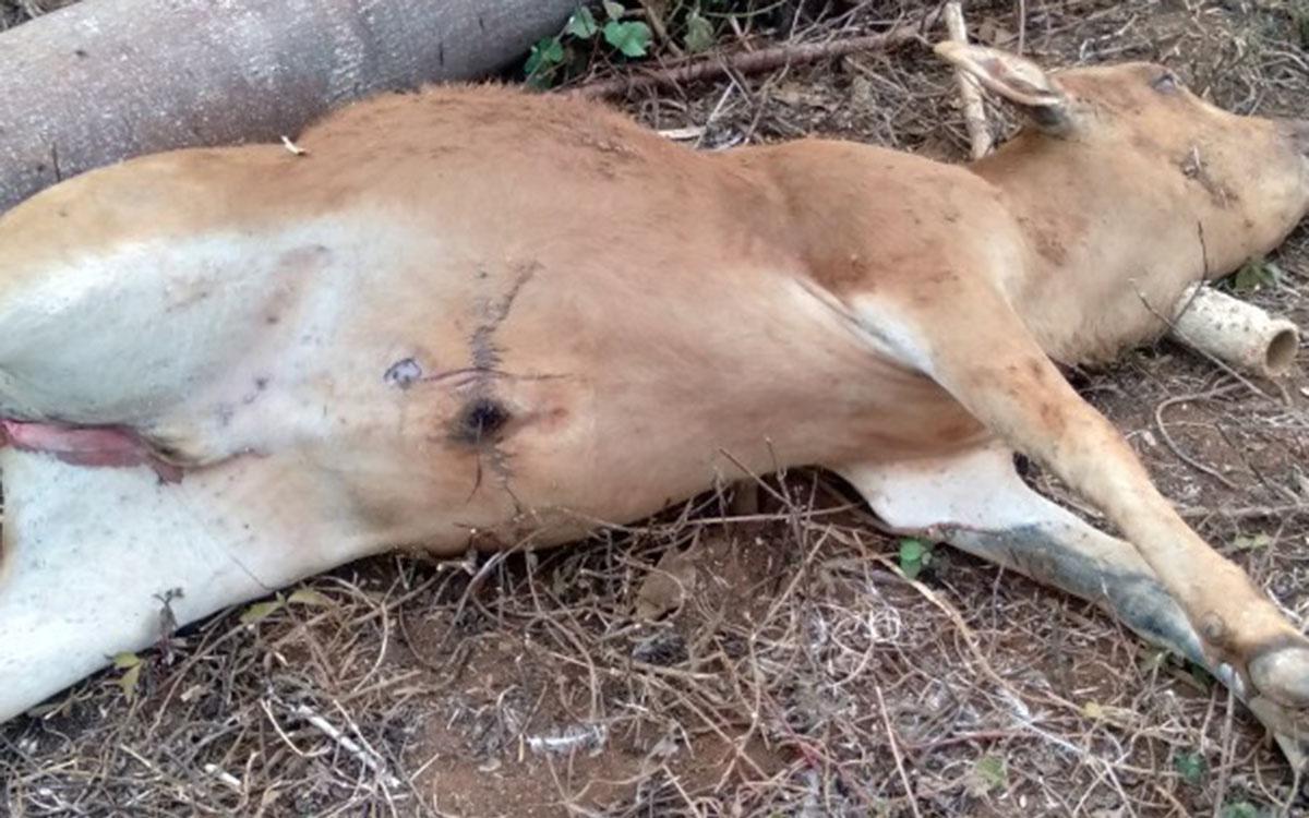 Gia Lai: Bất ngờ nguyên nhân bò chết hàng loạt vì ăn phải thứ nhan nhản đâu cũng có này