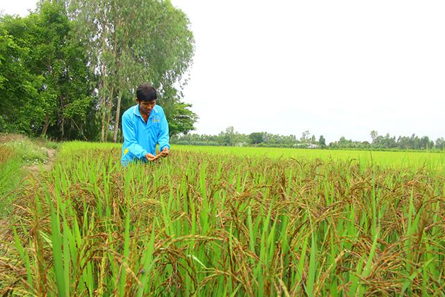Đồng Tháp: Ngắm ruộng lúa lạ, bông nào bông nấy đen nhem nhẻm, ông nông dân làm ra thứ gạo hảo hạng - Ảnh 1.