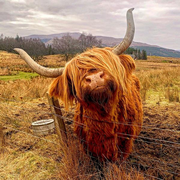 """Loài bò lạ, có bộ tóc dài lượt thượt che kín mắt """"không nhìn thấy Tổ quốc ở đâu"""", thịt ngon, mềm, mọng nước - Ảnh 11."""