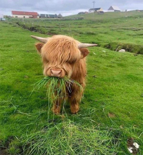 """Loài bò lạ, có bộ tóc dài lượt thượt che kín mắt """"không nhìn thấy Tổ quốc ở đâu"""", thịt ngon, mềm, mọng nước - Ảnh 12."""