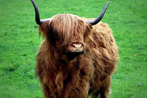 """Loài bò lạ, có bộ tóc dài lượt thượt che kín mắt """"không nhìn thấy Tổ quốc ở đâu"""", thịt ngon, mềm, mọng nước - Ảnh 2."""