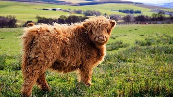 """Loài bò lạ, có bộ tóc dài lượt thượt che kín mắt """"không nhìn thấy Tổ quốc ở đâu"""", thịt ngon, mềm, mọng nước - Ảnh 3."""