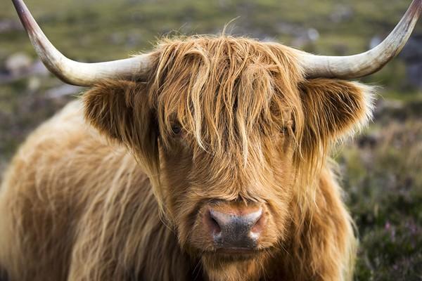 """Loài bò lạ, có bộ tóc dài lượt thượt che kín mắt """"không nhìn thấy Tổ quốc ở đâu"""", thịt ngon, mềm, mọng nước - Ảnh 4."""