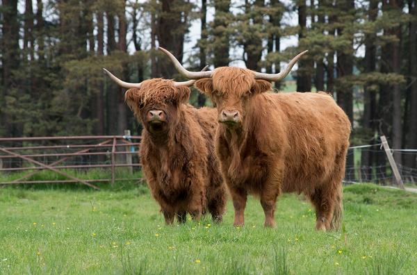 """Loài bò lạ, có bộ tóc dài lượt thượt che kín mắt """"không nhìn thấy Tổ quốc ở đâu"""", thịt ngon, mềm, mọng nước - Ảnh 6."""