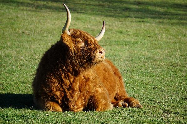 """Loài bò lạ, có bộ tóc dài lượt thượt che kín mắt """"không nhìn thấy Tổ quốc ở đâu"""", thịt ngon, mềm, mọng nước - Ảnh 7."""