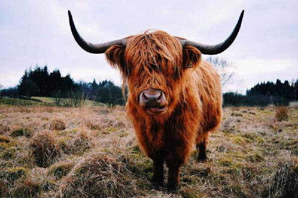 """Loài bò lạ, có bộ tóc dài lượt thượt che kín mắt """"không nhìn thấy Tổ quốc ở đâu"""", thịt ngon, mềm, mọng nước - Ảnh 9."""