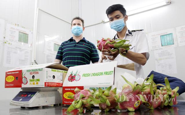 Kiểm định chất lượng trái thanh long chuẩn bị xuất khẩu sang Mỹ
