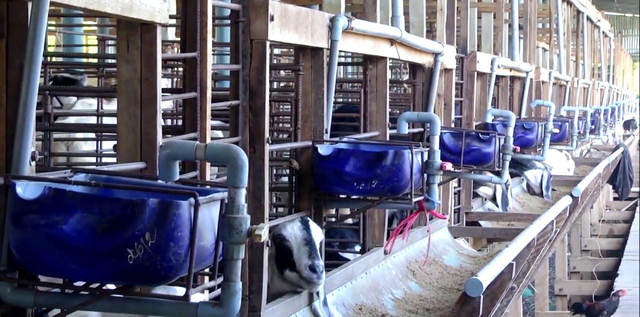 Tiền Giang: Nuôi con vật khoái khẩu so đũa, bán được thịt, giống, sữa, phân, anh nông dân mỗi năm thu tiền tỷ - Ảnh 3.