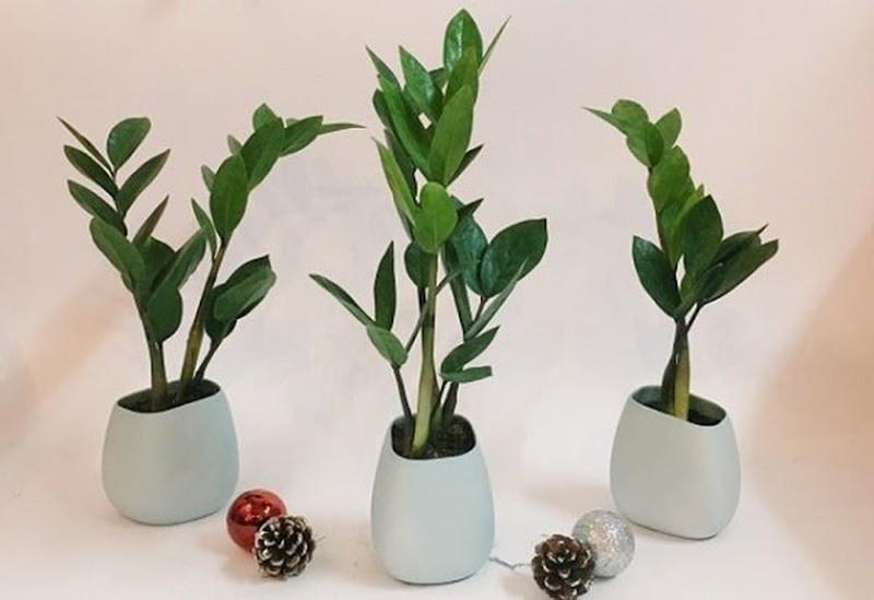4 loại cây phong thủy giữ ấm êm, gọi tài lộc cho gia chủ - Ảnh 3.