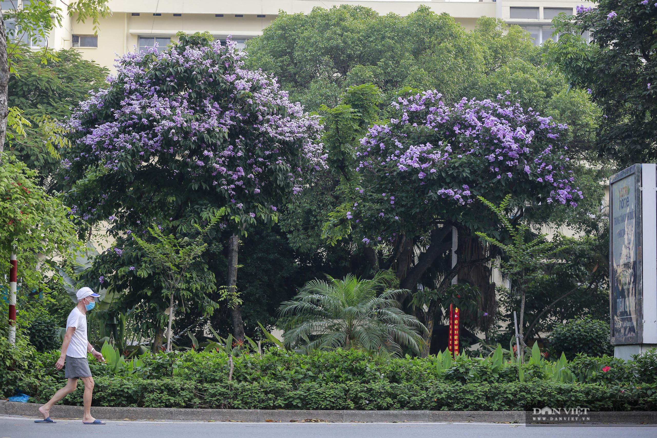 Hoa bằng lăng: loài hoa biểu tượng của sự thủy chung nở rộ khắp đường phố Hà Nội - Ảnh 1.