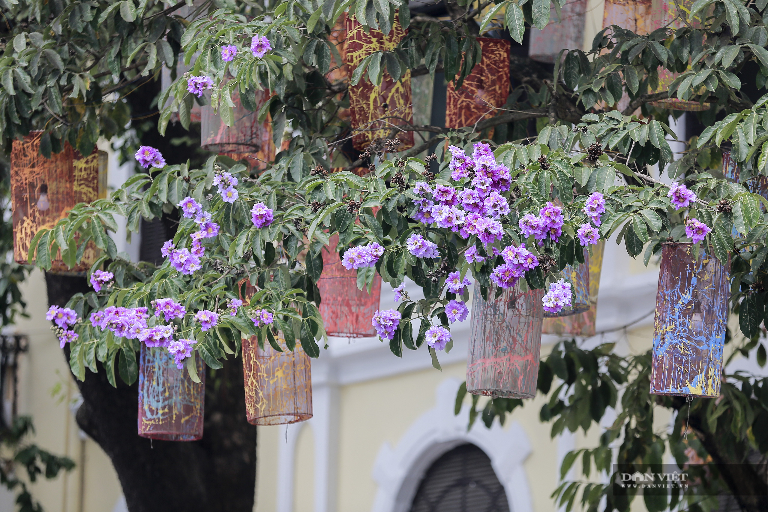 Hoa bằng lăng: loài hoa biểu tượng của sự thủy chung nở rộ khắp đường phố Hà Nội - Ảnh 3.