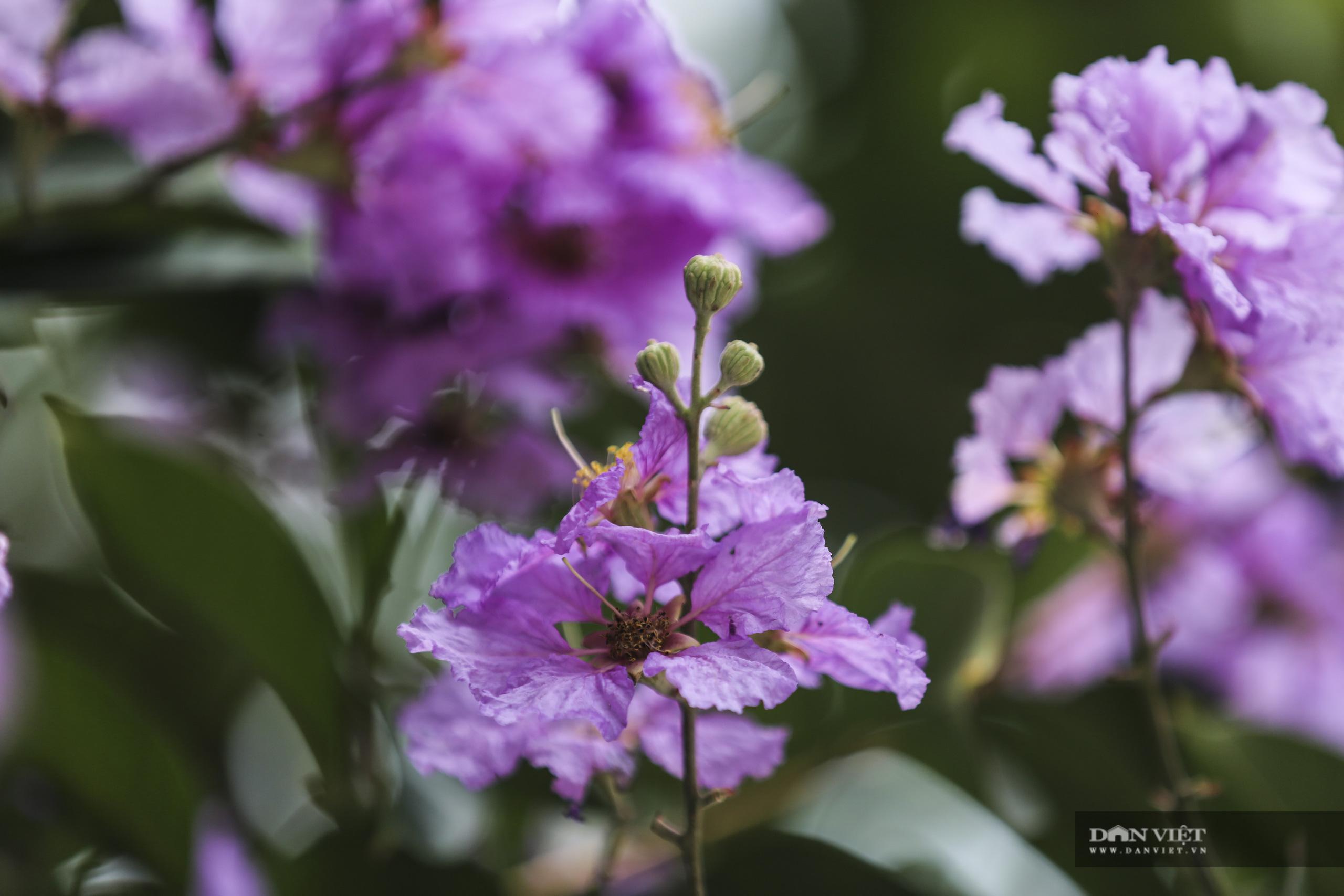 Hoa bằng lăng: loài hoa biểu tượng của sự thủy chung nở rộ khắp đường phố Hà Nội - Ảnh 4.