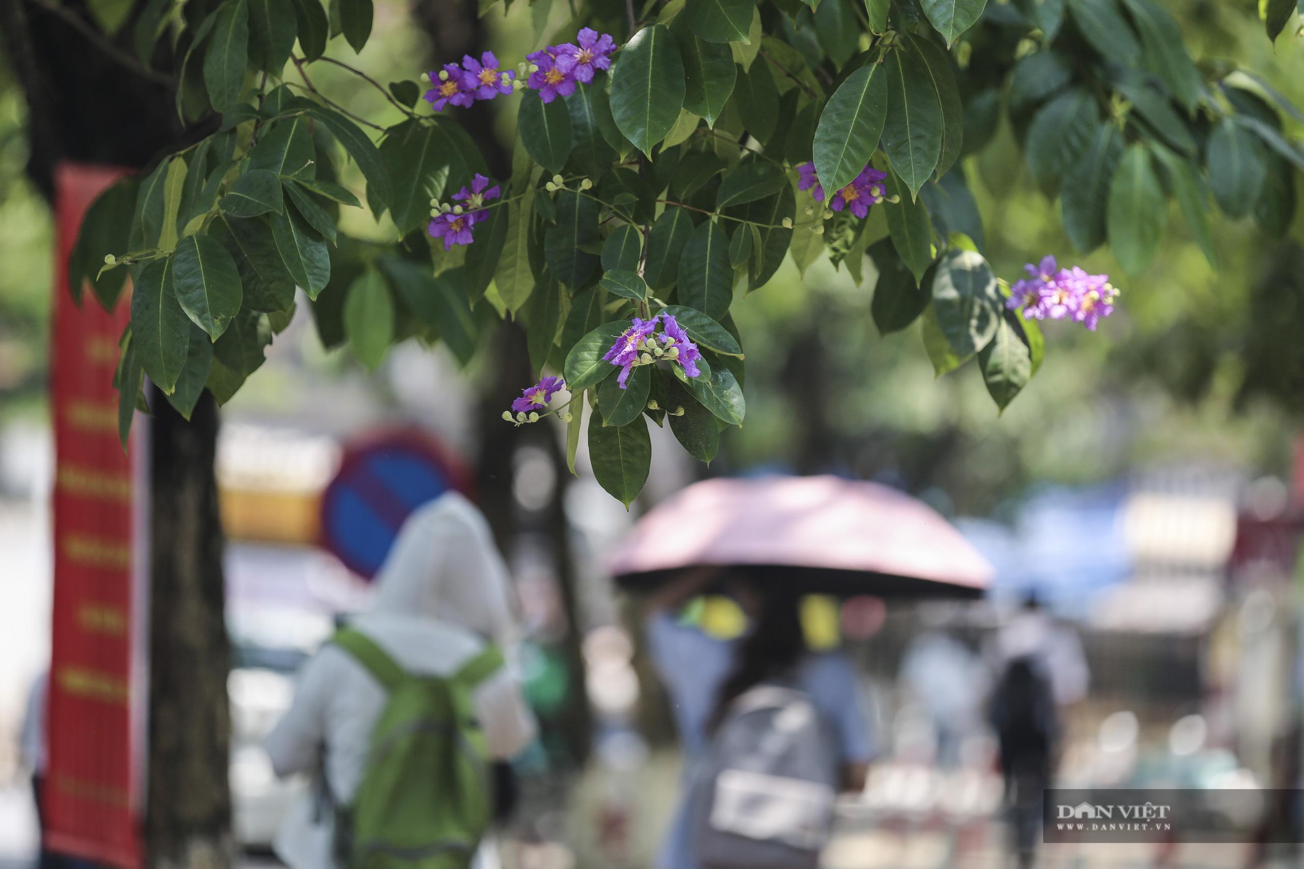 Hoa bằng lăng: loài hoa biểu tượng của sự thủy chung nở rộ khắp đường phố Hà Nội - Ảnh 7.
