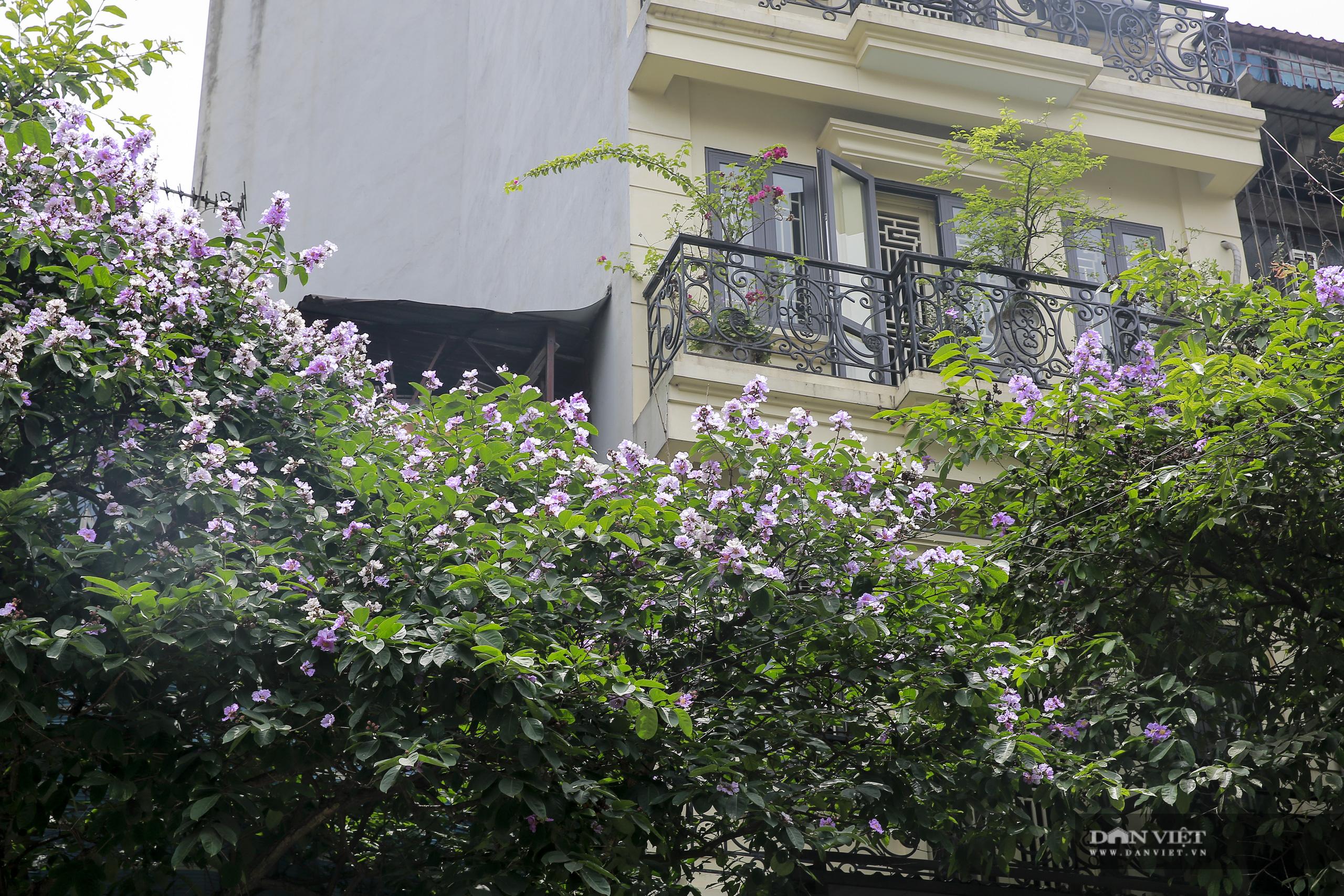 Hoa bằng lăng: loài hoa biểu tượng của sự thủy chung nở rộ khắp đường phố Hà Nội - Ảnh 8.