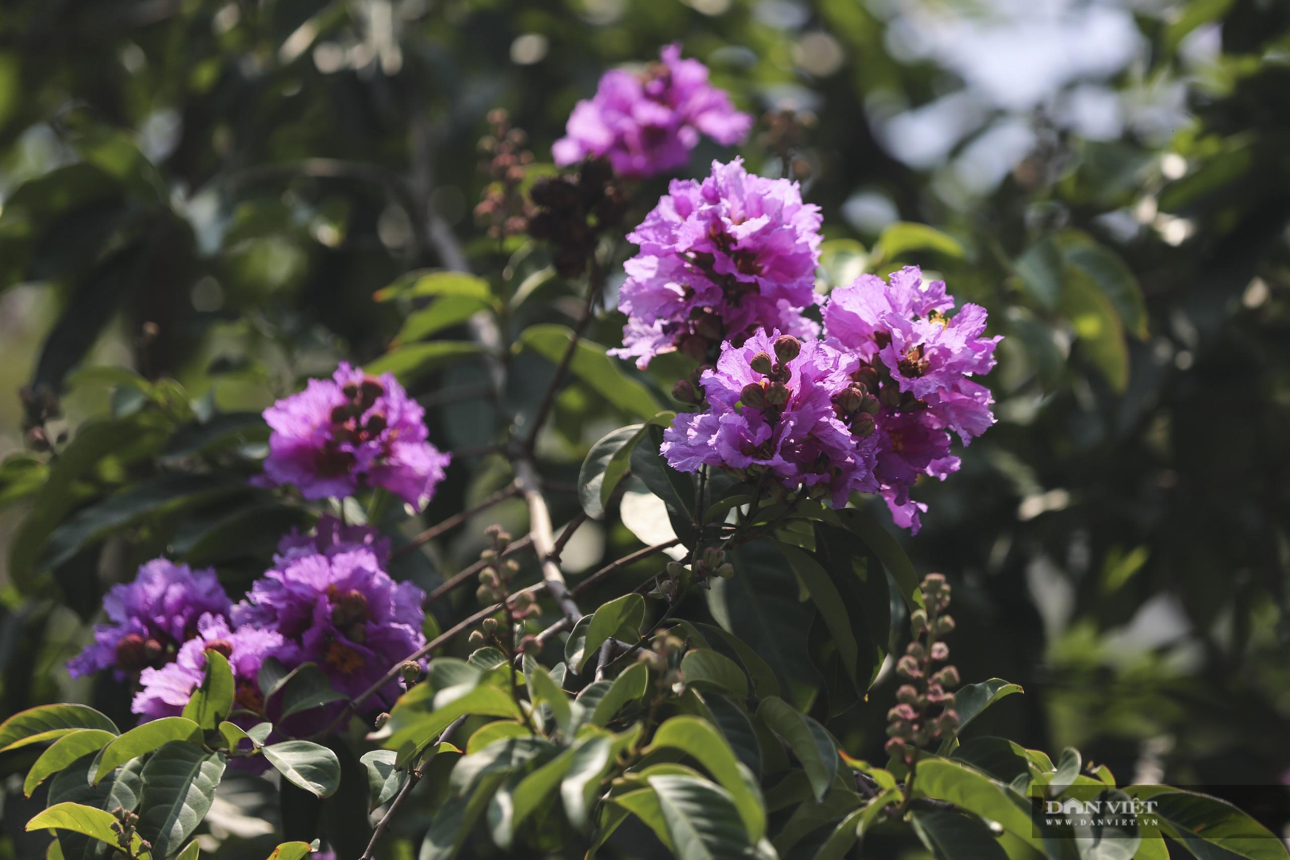 Hoa bằng lăng: loài hoa biểu tượng của sự thủy chung nở rộ khắp đường phố Hà Nội - Ảnh 9.