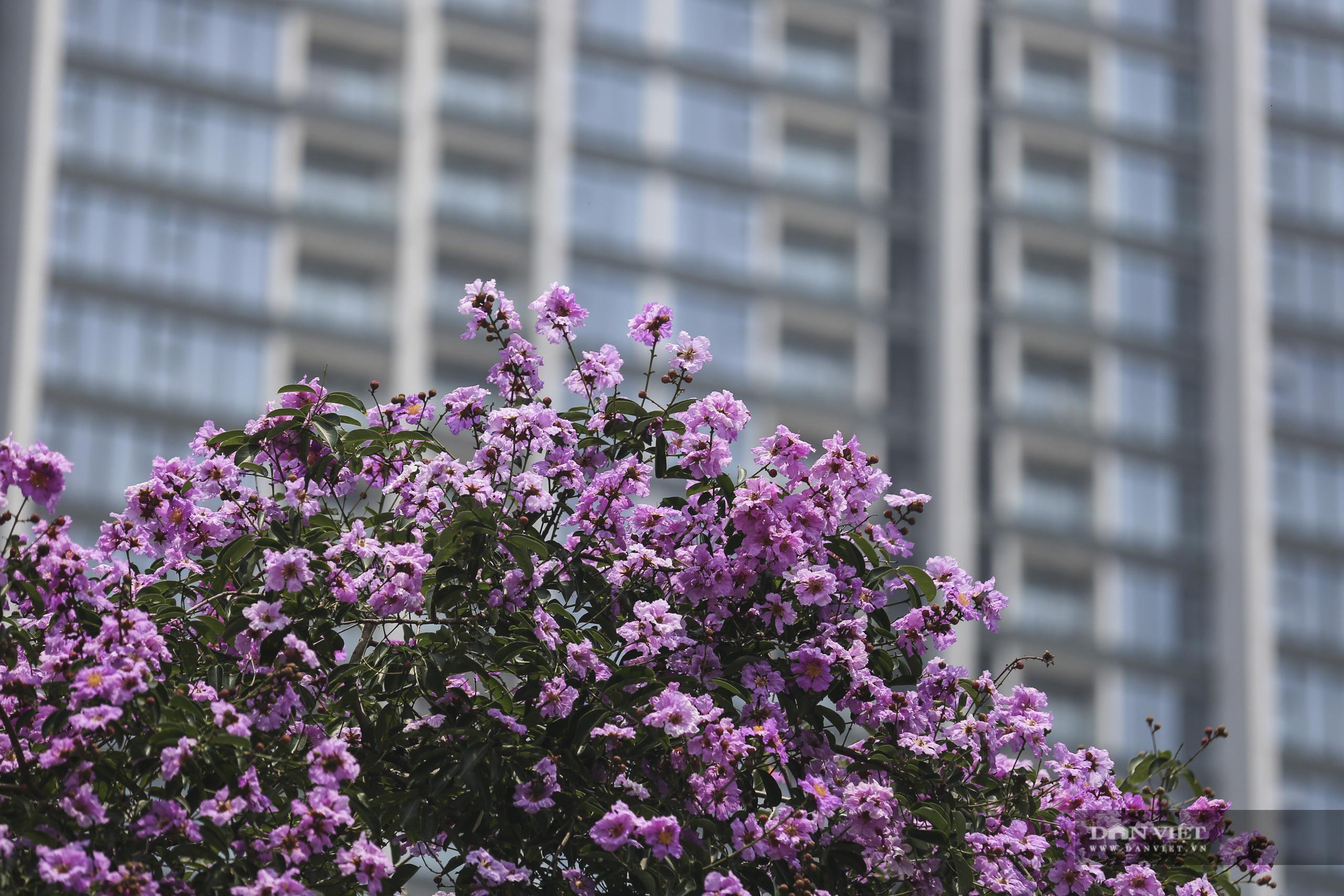 Hoa bằng lăng: loài hoa biểu tượng của sự thủy chung nở rộ khắp đường phố Hà Nội - Ảnh 10.