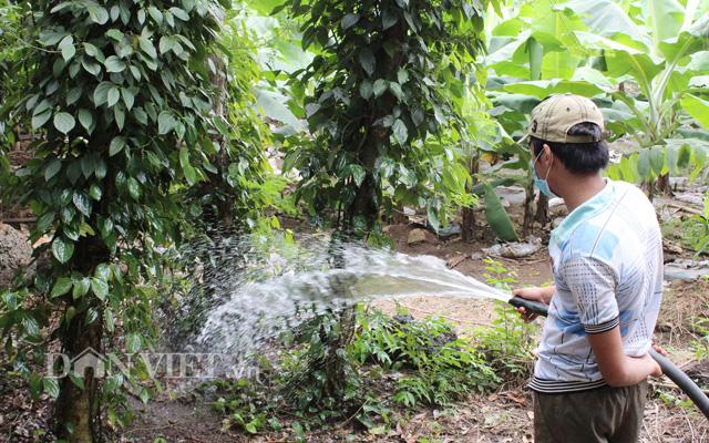 Tưới nước thủ công dễ ảnh hưởng đến bộ rễ cây tiêu.