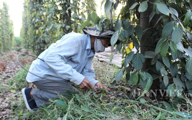 Vốn hệ thống tưới nước tiết kiệm tuy lớn nhưng hiệu quả cao vì kéo dài được sự sống của cây tiêu.