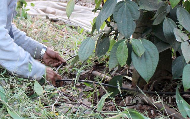 Tưới tiết kiệm cho hồ tiêu giúp tăng thu nhập cho nông dân trên diện tích đất canh tác.
