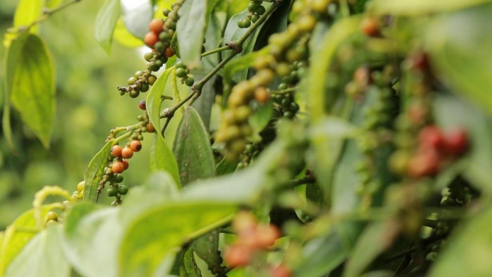 Giá nông sản hôm nay 13/5: Giá tiêu thấp nhất 63.000 đồng/kg, cà phê bất ngờ sụt mạnh - Ảnh 1.