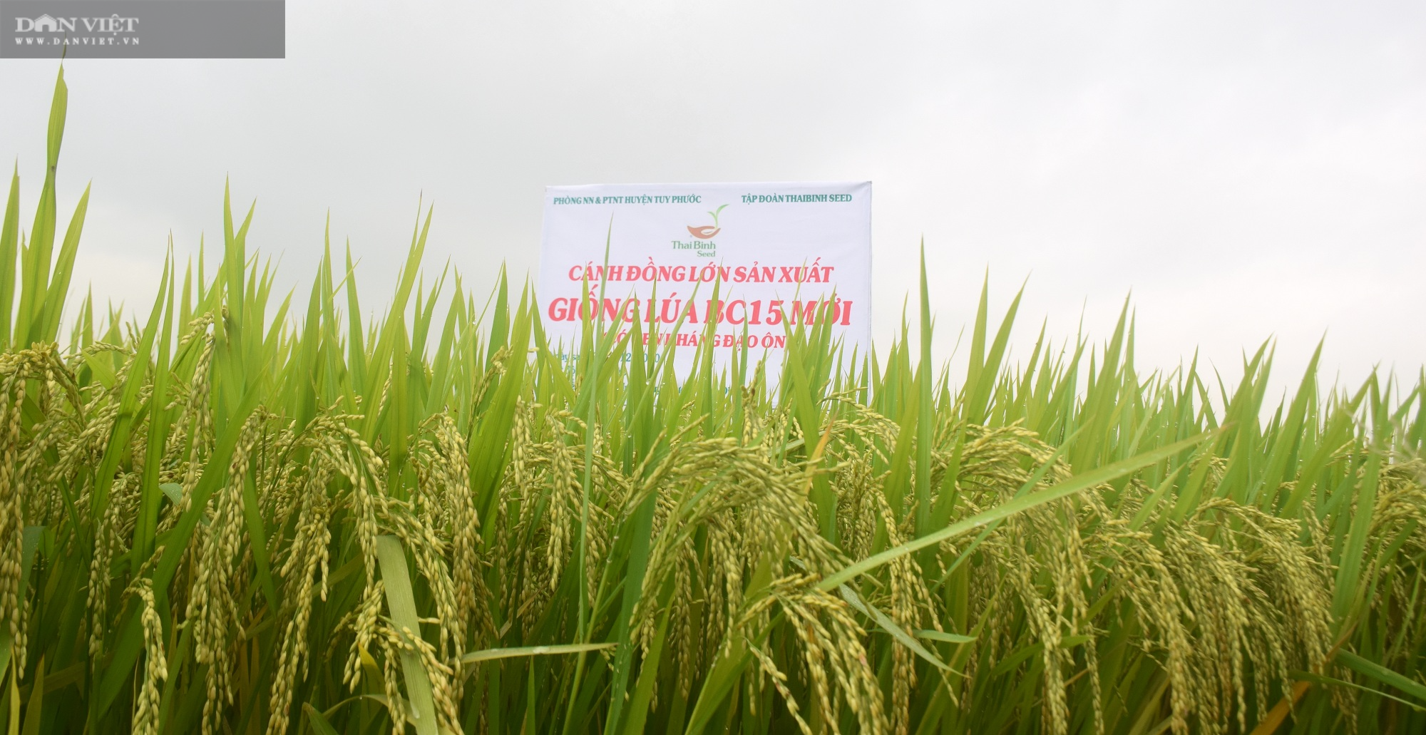 Hiệu quả bất ngờ từ giống lúa BC15 của ThaiBinh Seed trên đất Bình Định - Ảnh 3.