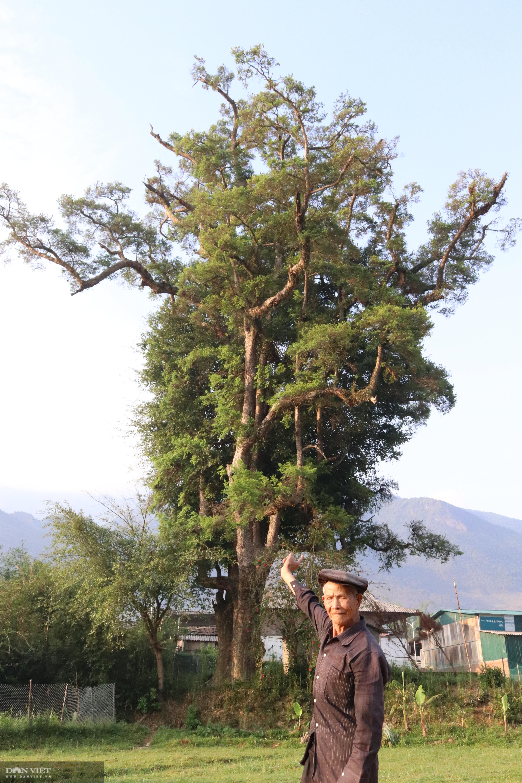 """""""Thần cây"""" khổng lồ nghìn năm tuổi – tượng đài sống của người dân Ngọc Chiến - Ảnh 3."""