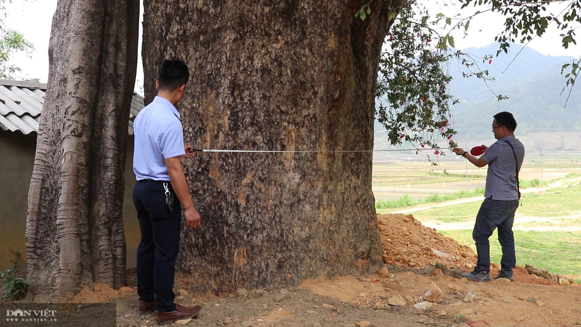 """""""Thần cây"""" khổng lồ nghìn năm tuổi – tượng đài sống của người dân Ngọc Chiến - Ảnh 5."""