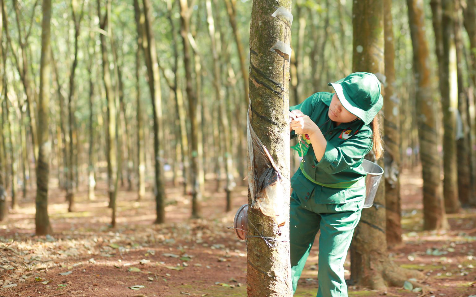 Trung Quốc - Ấn Độ ồ ạt gom hàng, vừa vào vụ, doanh nghiệp đã 3 lần tăng giá thu mua loại nông sản này