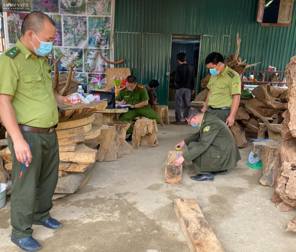 Vụ phá rừng pơ mu VQG Hoàng Liên: Kiểm lâm phối hợp với Công an tạm giữ 257 súc gỗ pơ mu - Ảnh 2.