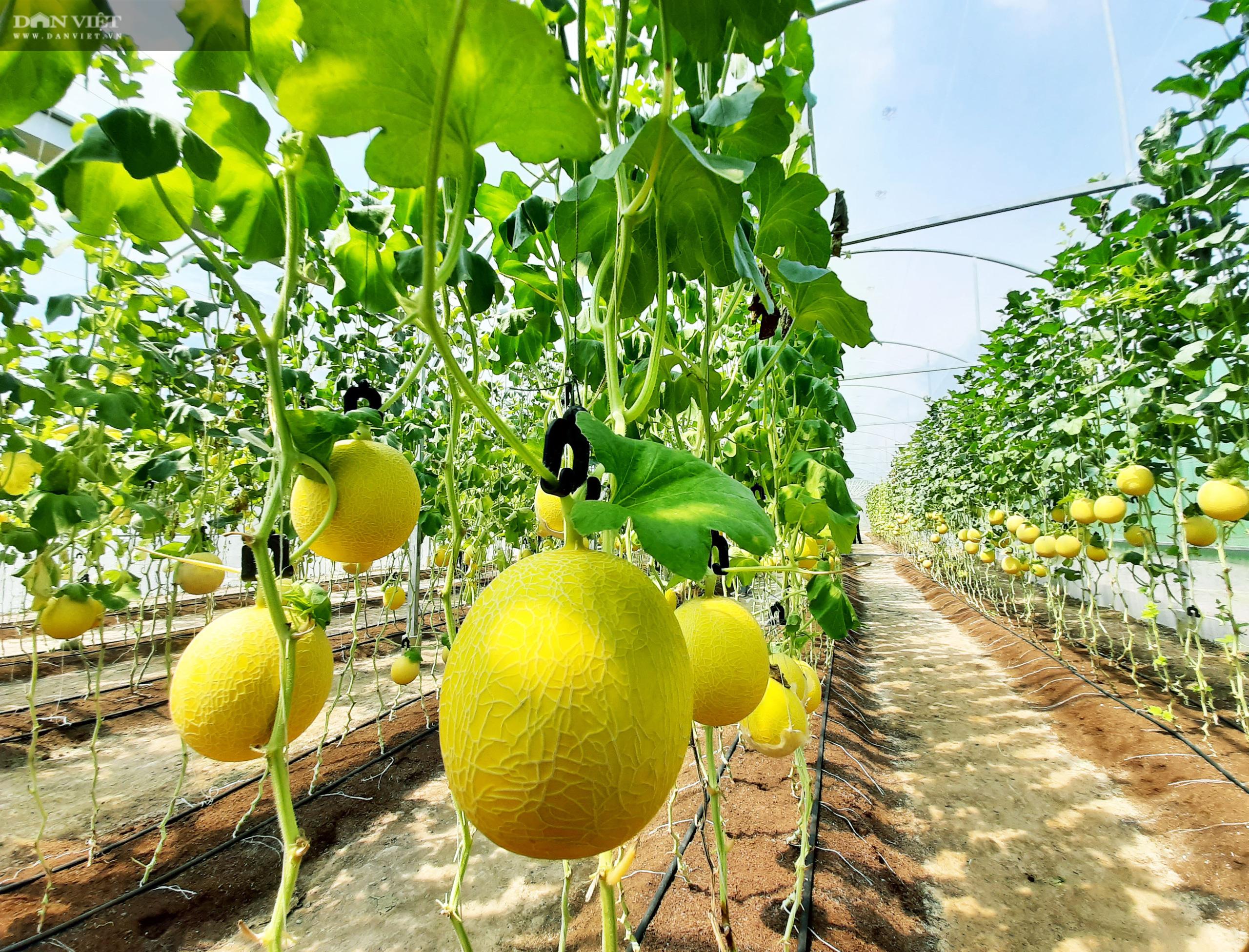 Cà Mau: Ảnh hưởng dịch Covid-19, kêu gọi tiêu thụ dưa lưới cho nông dân - Ảnh 2.