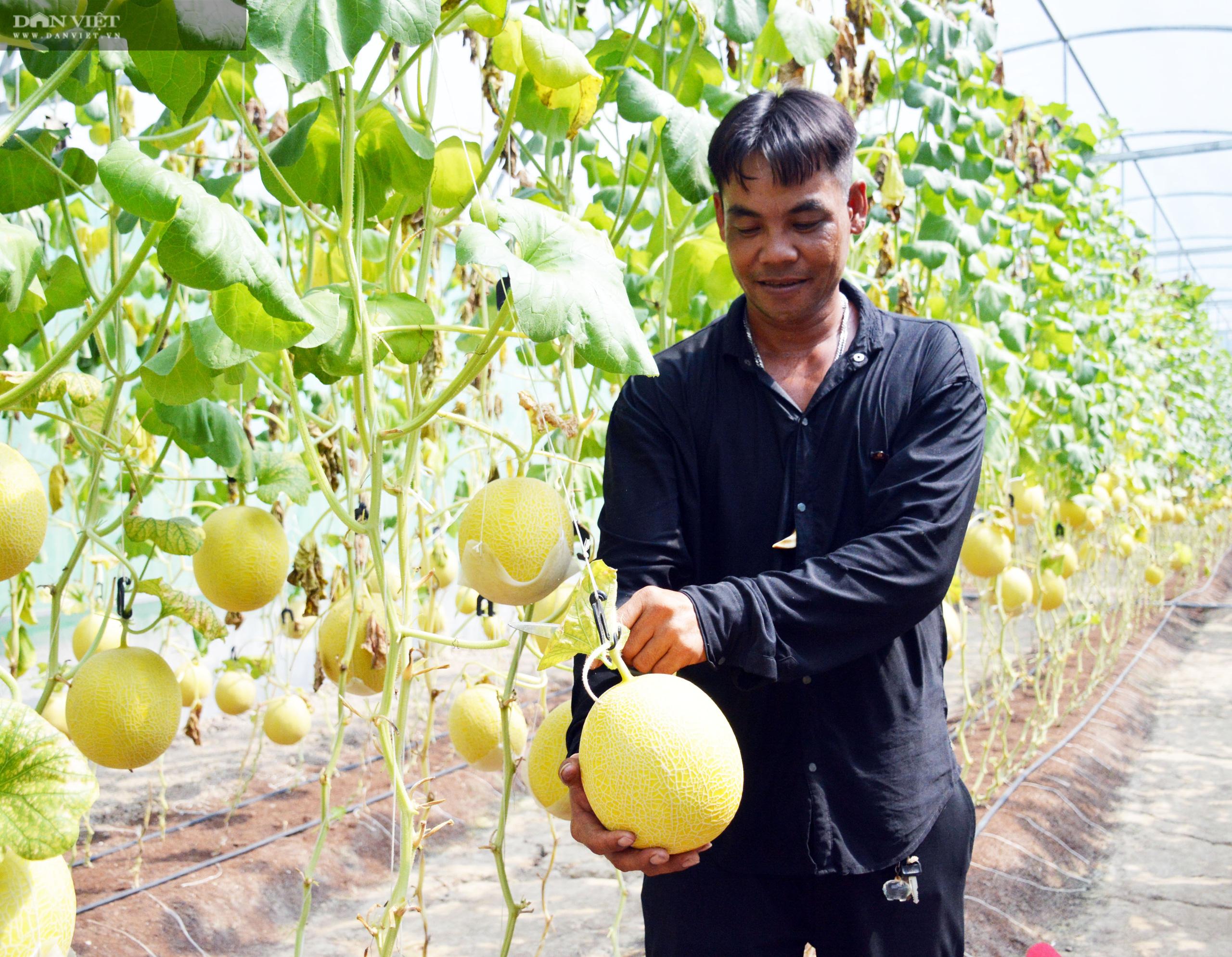 Cà Mau: Ảnh hưởng dịch Covid-19, kêu gọi tiêu thụ dưa lưới cho nông dân - Ảnh 3.