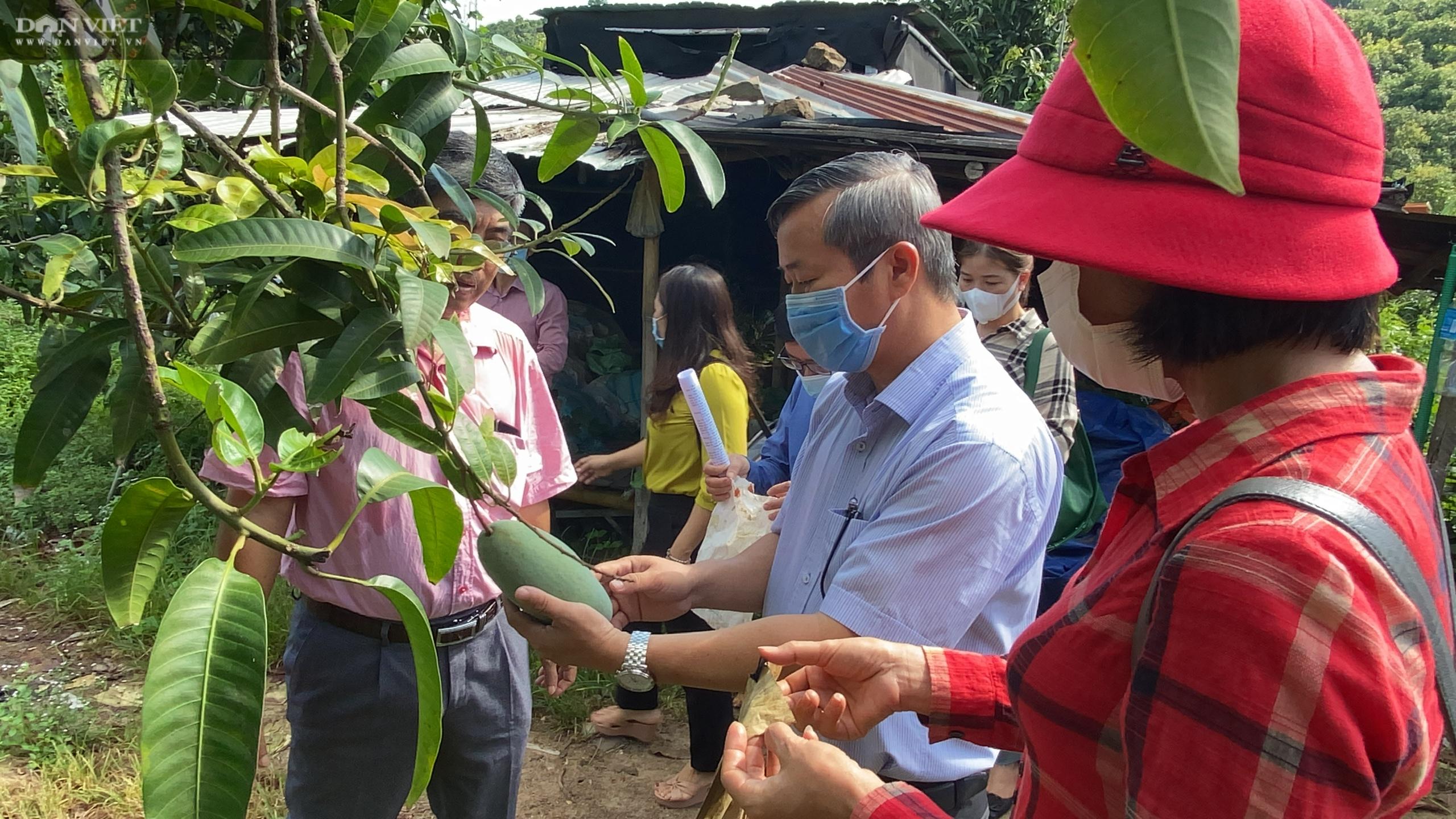 Giá xoài cuối vụ vẫn 4.000 đồng/kg, nhiều nhà vườn vứt xoài la liệt dưới gốc cây - Ảnh 3.