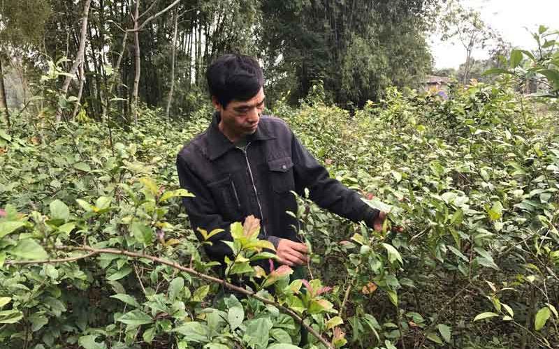 Hòa Bình: Cả làng trồng thứ cây gì, ít phải chăm mà cứ đến tháng này nhà thuốc Đông y kéo đến mua?