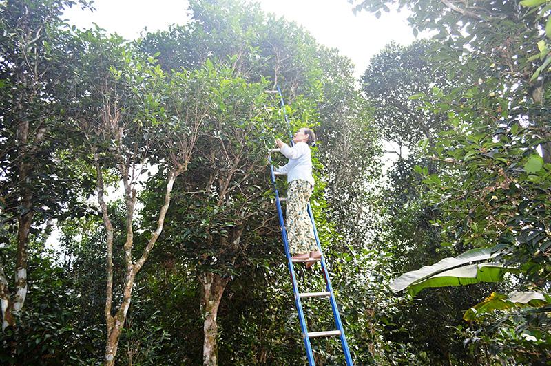 Vùng đất này của tỉnh Quảng Trị trồng cây chè xanh thôi sao muốn hái lá dân phải bắc thang - Ảnh 3.