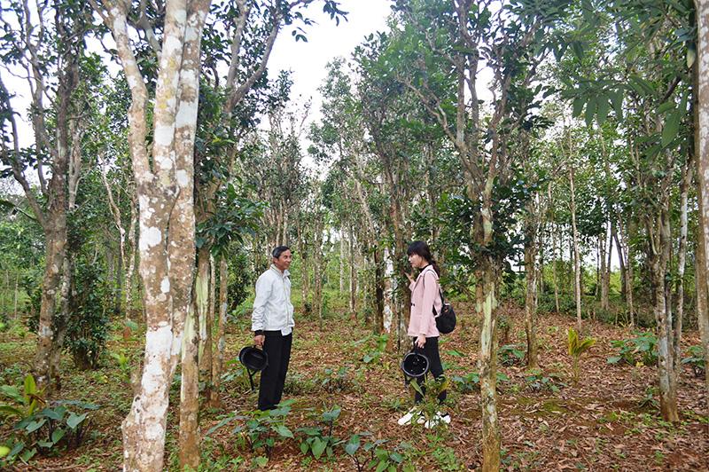 Vùng đất này của tỉnh Quảng Trị trồng cây chè xanh thôi sao muốn hái lá dân phải bắc thang - Ảnh 1.